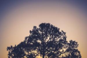 pinetreetop